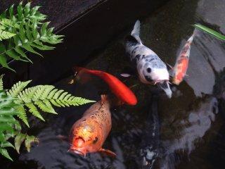 Koi ( cá chép) đã chào mừng tôi. Thật dễ thương!
