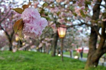 Sakura at the Hiroshima Mint