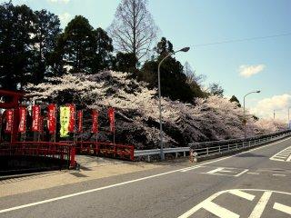 Cherry trees overhang the river that runs along on edge of the shrine