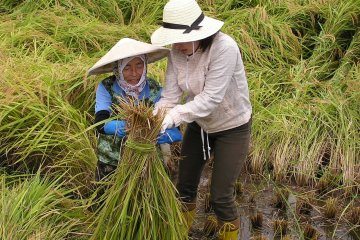 <p>Learning how to harvest rice</p>