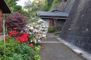 ต้นอะเซลเลีย (azalea) ออกดอกสีชมพูดกพราวเต็มต้น