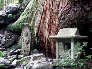 Small statues of Jizo and Fudo-myoo at the foot of a giant cedar tree