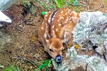 <p>A bambi which we saw near the start of the trailhead. I do hope it returned safely to its mother!</p>