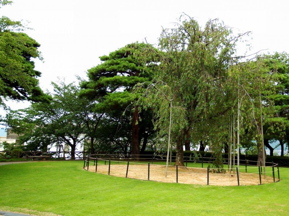 가수미가성 공원에서 유명한 벚나무. 마루오카 성과 이 공원은 일본에서 가장 좋은 100대 하나미 명소 중 하나로 알려져 있다