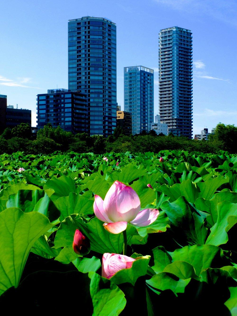 Enjoy Japanese Lotus At Ueno Park Tokyo Japan Travel Japan