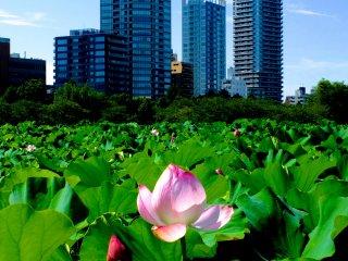 Một trong những ao sen đẹp nhất thế giới nằm ở công viên Ueno...ngay trung tâm Tokyo