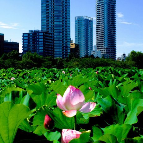 Enjoy Japanese Lotus at Ueno Park