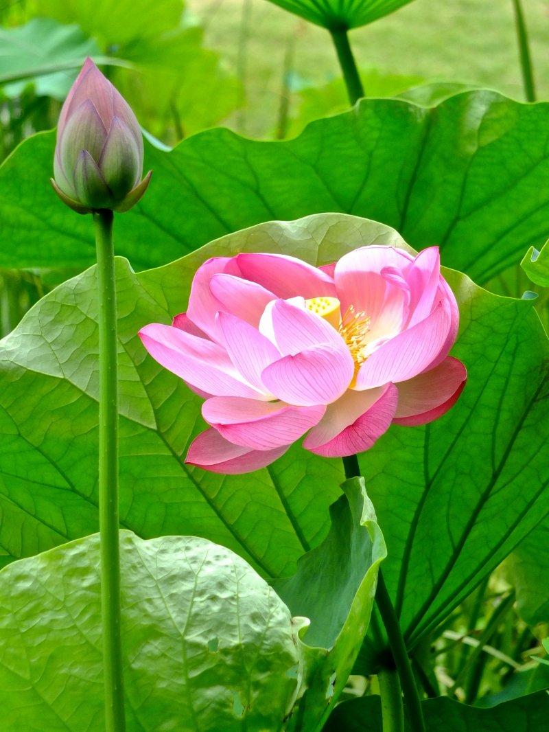 <p>Прекрасный японский лотос в саду Санкеи-эн, Йокогама</p>