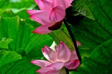 <p>Лотосы в саду Санкеи-эн, Йокогама, исключительно красивы</p>