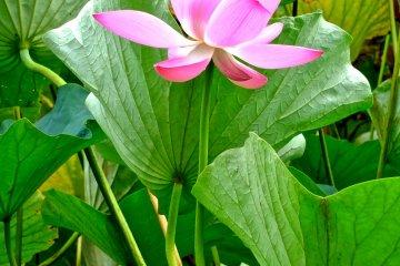 <p>Beautiful lotus in Gyoda City, Saitama</p>