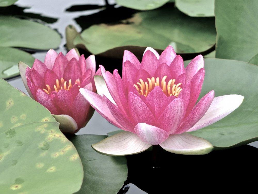 아시카가 플라워 공원의 분홍색 수련