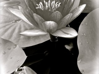 Portrait of a Water Lilly in B&W at Ashikaga Flower Park