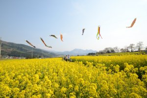 Yellow oilseed rape blossoms inIiyama