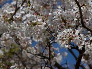 4월 초, 꽃이 활짝 폈을 때가 막 지났을 즈음.