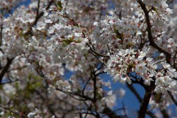 <p>4월 초, 꽃이 활짝 폈을 때가 막 지났을 즈음.</p>