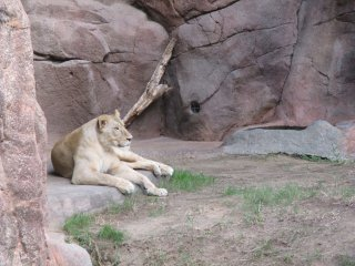 A lioness relaxes in the summer heat