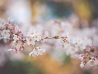เนื่องจากสวน Kenroku นั้นมีพันธ์ไม้ที่หลากหลาย เราจึงสามารถชมซากุระได้หลายสายพันธ์พร้อมๆกันในสวนแห่งนี้