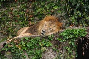 ملك الغابة في سبات عميق