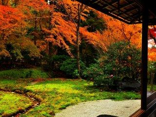 光によっては瑠璃色に光ると云う苔。未だ見る事は叶わないが、この庭を眺めると決して誇張表現では無い気がする