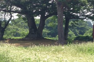 The keyaki tree seen from the road. Soba is being grown on the field in the foreground.