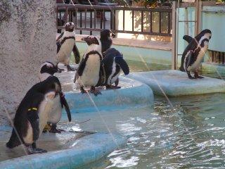 Réunion de pingouin