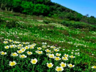 In summer, Mt. Asahi will be filled with blossoming alpine plants such as Aleutian avens...this is surely a heavenly paradise!