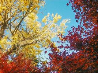 Warna kuning ceria dari pohon ginko dan warna merah terang dari pohon maple/momiji banyak mendominasi pemandangan di Takaosan pada musim gugur.