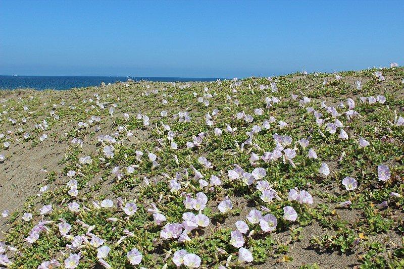 봄의 타카스해변. 해변에는 하마히루가 만발하다