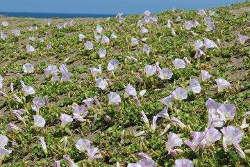 타카스 지구의 모래 사장은 대략 3킬로 정도이지만, 하마히루가오의 군생지는 니시하타쵸에서 해변으로 내려간 근처에 밖에 없다