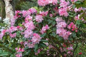 ฉันชอบทุกสีทุกดอก แต่ที่ชอบมากที่สุด คงจะเป็นต้นที่มีดอกสีชมพูหลายเฉดในดอกเดียวกัน ดอกค่อนข้างใหญ่ และหอมมากๆ ด้วย