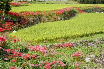 The Equinox Flower and Rice Harvest