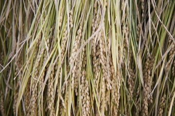 <p>Soon to be shin-mai, delicious newly-harvested rice</p>