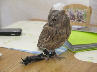 The smaller owls can walk or sleep on tables