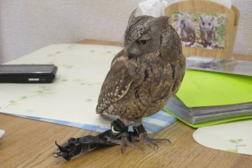 <p>The smaller owls can walk or sleep on tables</p>