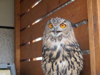 A Eurasian eagle owl shows off its stunning orange eyes