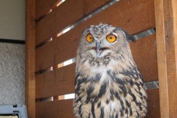 <p>A Eurasian eagle owl shows off its stunning orange eyes</p>