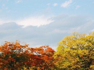 Pohon sakura yang berwarna oranye dan pohon ginko yang berwarna kuning