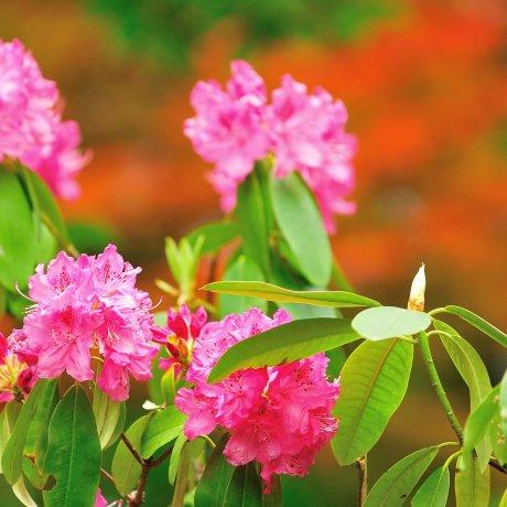 Blossoming Flowers of Daruma Temple