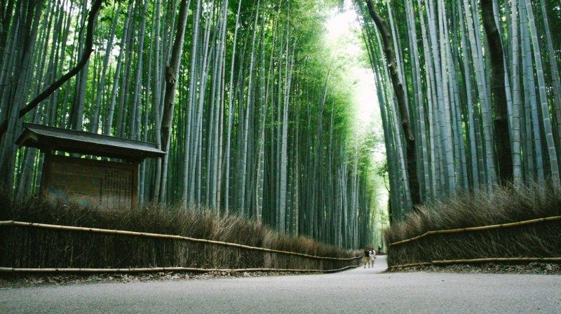 El bello bosque de bambú en Arashiyama