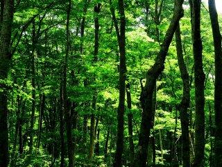 สีเขียวสดของป่าต้นบีส ในฤดูใบไม้ร่วงใบไม้สีเขียวเหล่านี้จะเปลี่ยนสีเป็นสีทอง