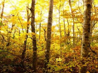 鬱蒼とした林ではあるが、このブナの林は不思議とうるさく見えない