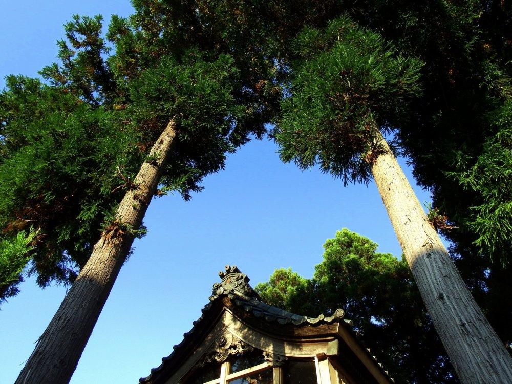 白山神社本殿前で青空に向かって高々と聳える木々
