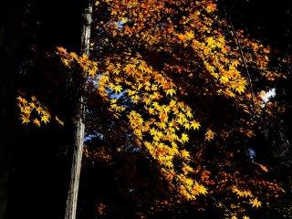 風に流れるような朱の楓 見事な色彩だ