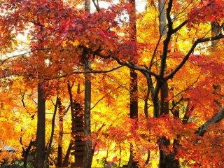 Sinar matahari bersinar diantara daun maple membuat daun terlihat seperti tranparan, sama seperti efek yang dibuat kaca warna