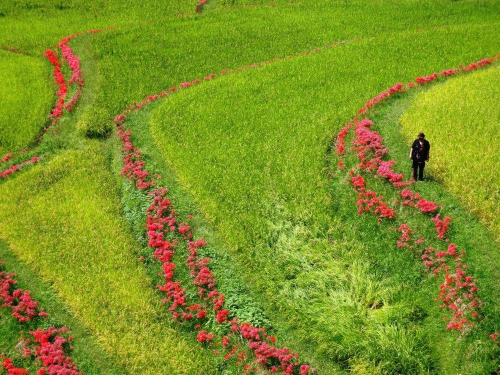 Les photographes affluent vers les rizières de Kumamoto en automne
