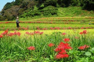 Kumamoto's Rice Paddies in Autumn