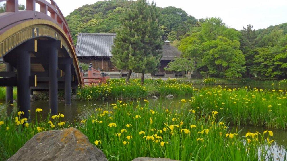 노란 홍채는 5월에 연못의 둑을 우아하게 한다