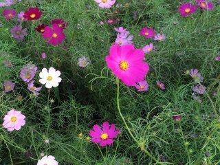Hoa sao nhái nở rộ