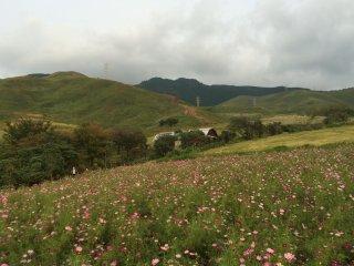 Hoa sao nhái đầy màu sắc phản chiếu trên núi Aso.