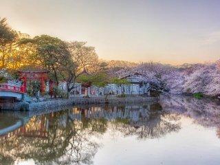 하치만구 입구 근처에는 겐페이 연못이라는 이름을 가진 두 개의 연못이 있다